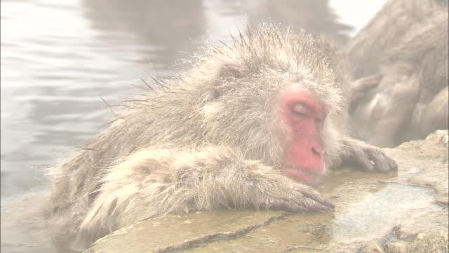 A snow monkey sleeps in a water pool at Jigokudani Monkey Park in Nagano, Japan.