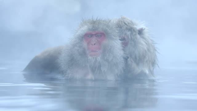 hd vdo :雪猿 - 温泉点の映像素材/bロール