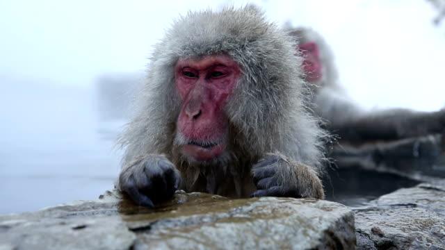 HD VDO: Snow Monkey