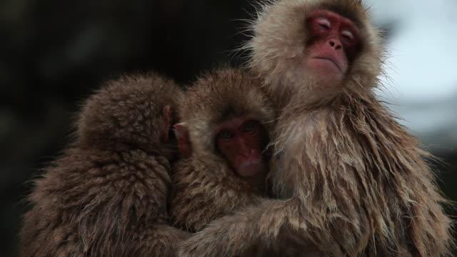 vídeos y material grabado en eventos de stock de ms snow monkeys (japanese macaque) in hot spring / jigokudani, nagano, japan - grupo pequeño de animales