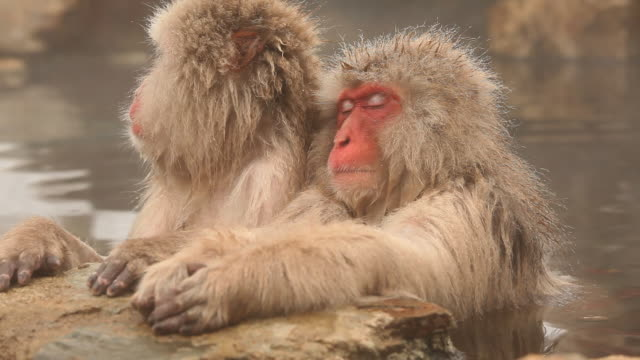 Snow Monkeys (Japanese Macaque) in Hot Spring