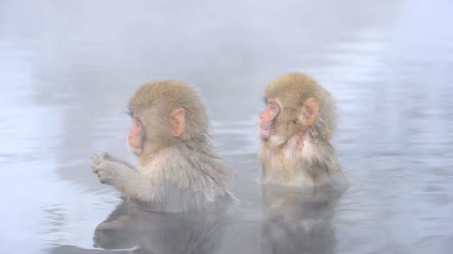 snow monkeys or japanese macaque, at jigokudani yaenkoen park - nagano prefecture stock videos and b-roll footage