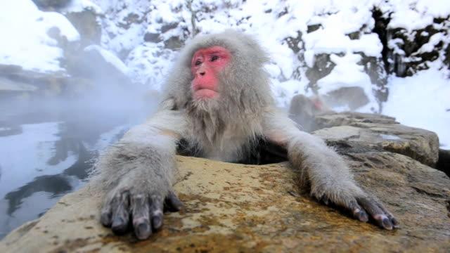 snow monkeys or japanese macaque, at jigokudani yaenkoen park - joshinetsu kogen national park stock videos and b-roll footage