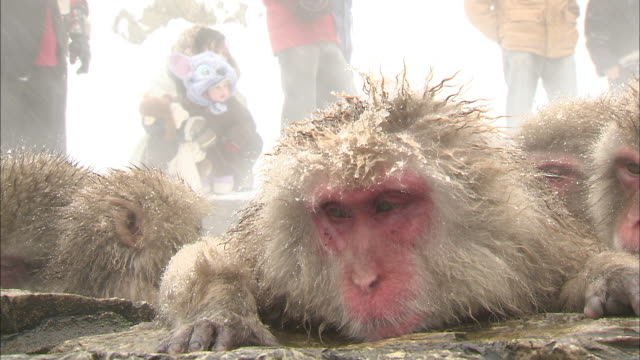 snow monkeys rest and groom each other in a bathing pool at jigokudani monkey park in nagano, japan. - jigokudani monkey park stock videos & royalty-free footage