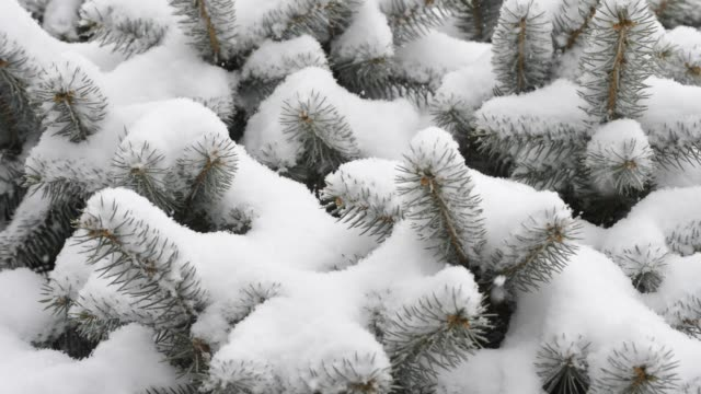Snow on blue spruce.