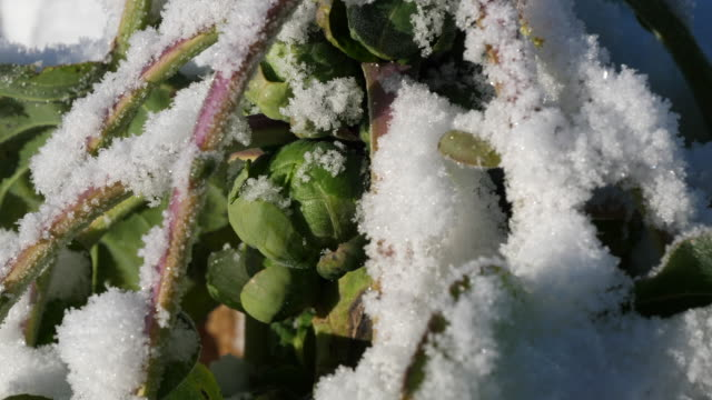 snow on brussels sprout - brussels sprout stock videos & royalty-free footage