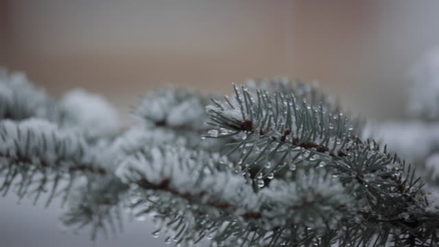 Snow on Christmas Tree Branches, Derbyshire, England, UK, Europe