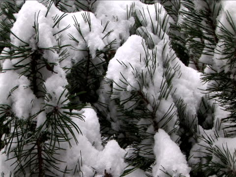 cu, zi, snow on pine tree branch, washington, usa - intricacy stock videos & royalty-free footage