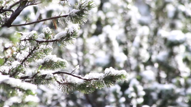 vidéos et rushes de snow on pine trees melting in the sun focus shift - mise au point au 1er plan