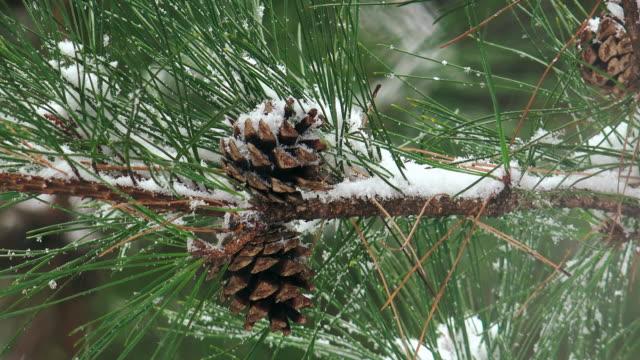 snow on the pine cone in uljin geumgang pine forest / uljin-gun, gyeongsangbuk-do, south korea - パインコーン点の映像素材/bロール