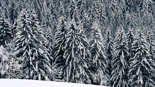 snow over pine trees forest in south tyrol, italy - マツ科点の映像素材/bロール