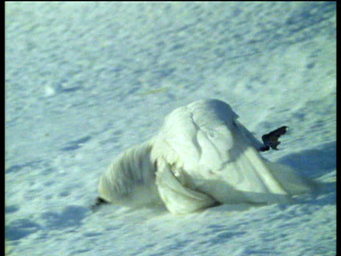 snow petrels snow bathe while preening and roll onto backs in snow. - preening animal behavior stock videos & royalty-free footage