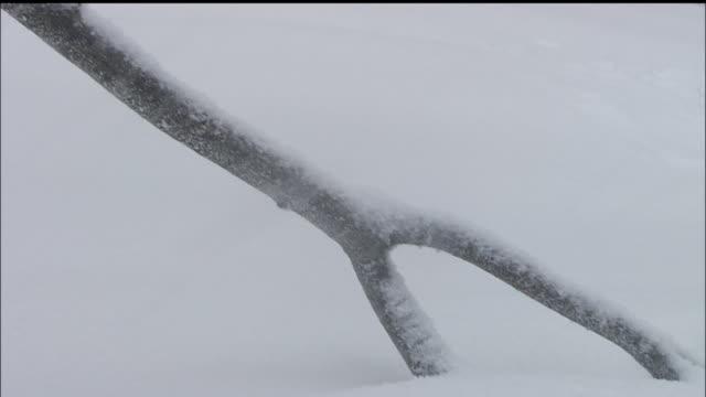 vidéos et rushes de snow scene, shirakami mountain range, virgin beech forest, japan - neige fraîche