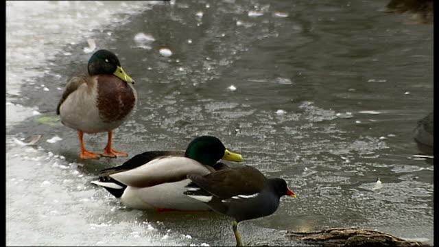 vídeos y material grabado en eventos de stock de snow scenes in london; more of ducks in icy lake robin pecking in snow general views of snowy parkland - organismo acuático
