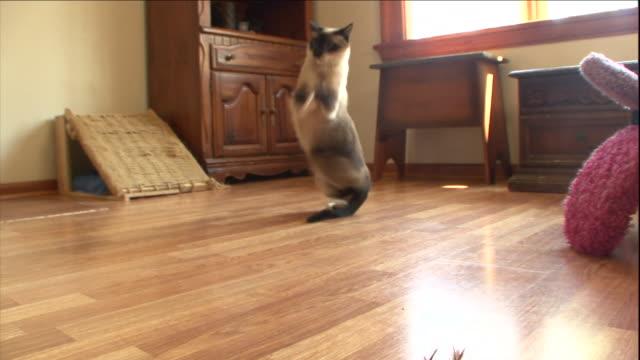 vídeos de stock e filmes b-roll de a snow shoe cat chases a toy. - gato