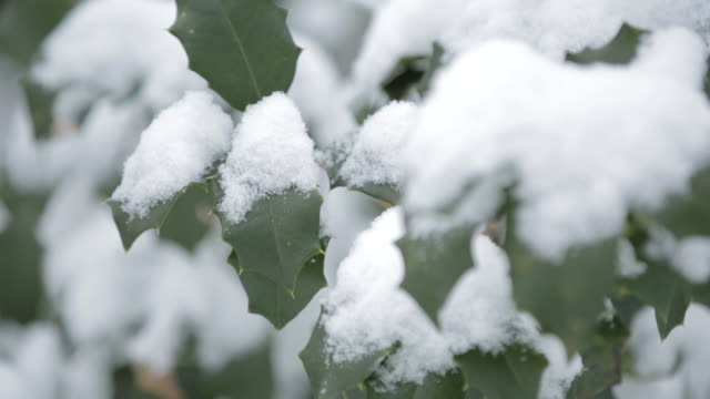 Snow sits on leaves of a holly tree