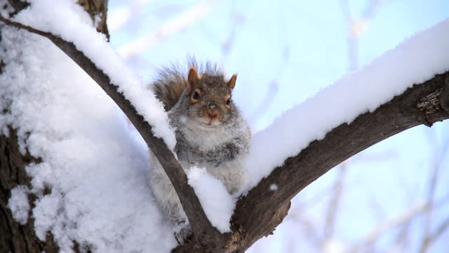 stockvideo's en b-roll-footage met snow squirrel - winter