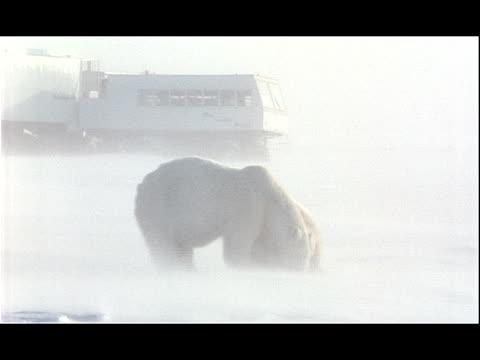 snow swirls around a polar bear and a cub as they eat near an all-terrain vehicle. - 水の形態点の映像素材/bロール