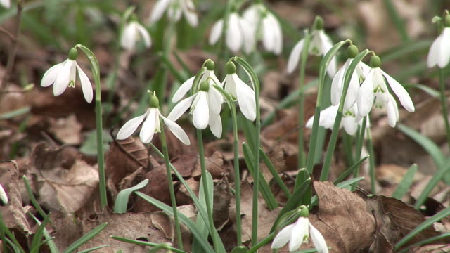 hd: snowbells - snowdrop stock videos and b-roll footage