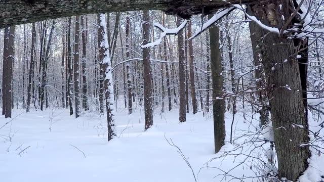 vidéos et rushes de paysages enneigées. la forêt après une chute de neige. - neige fraîche