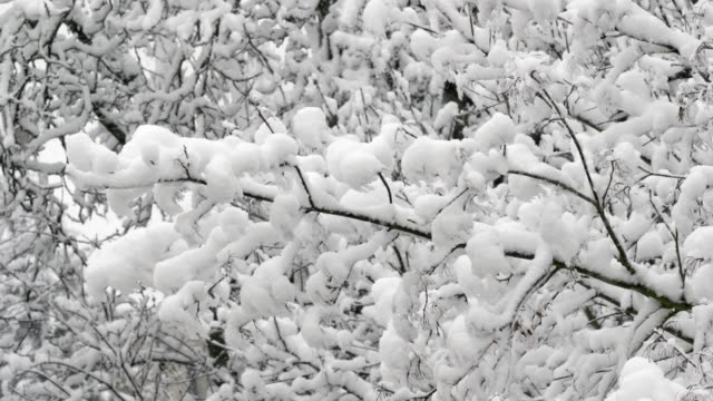 snowcapped branches waving in the wind - zona arborea video stock e b–roll