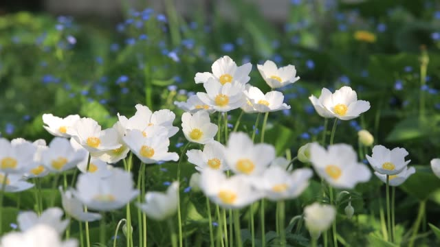 snowdrop anemone - anemone sylvestris- in spring season. shallow focus. - ranunculus stock videos & royalty-free footage