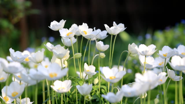 snowdrop anemone - anemone sylvestris- in spring season. shallow focus. - wildflower stock videos & royalty-free footage