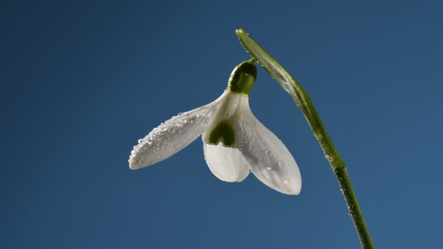 snowdrop flower close up, petals opening with dew drops time lapse. blue background - innocenza video stock e b–roll