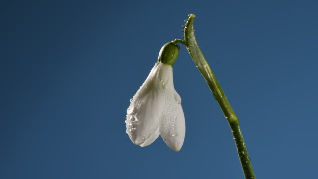 snowdrop flower close up, petals opening with dew drops time lapse. blue background - oxfordshire stock videos & royalty-free footage