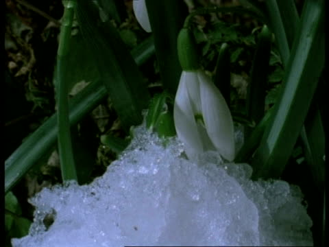 t/l snowdrop flower - snow melting to reveal flower - snowdrop stock videos and b-roll footage
