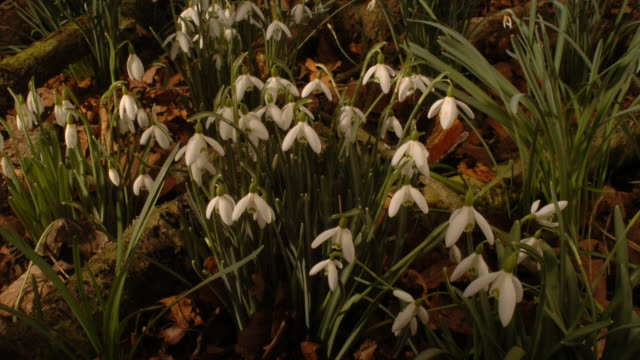 snowdrop flowers close and open as they grow. available in hd. - snowdrop stock videos and b-roll footage