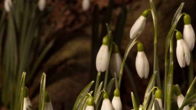 snowdrop flowers open and close as they grow. available in hd. - snowdrop stock videos and b-roll footage