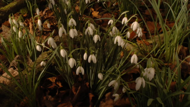 snowdrop flowers open and close. available in hd. - snowdrop stock videos and b-roll footage