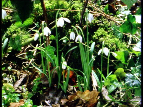 snowdrop flowers open in spring, britain - snowdrop stock videos and b-roll footage
