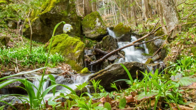 t/l snowdrop growing by the creek - snowdrop stock videos and b-roll footage