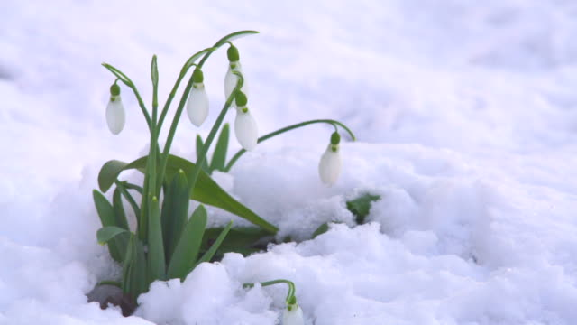 snowdrop in the wind - snowdrop stock videos and b-roll footage