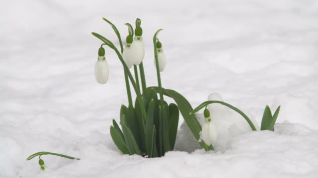 snowdrop on the snow - snowdrop stock videos and b-roll footage
