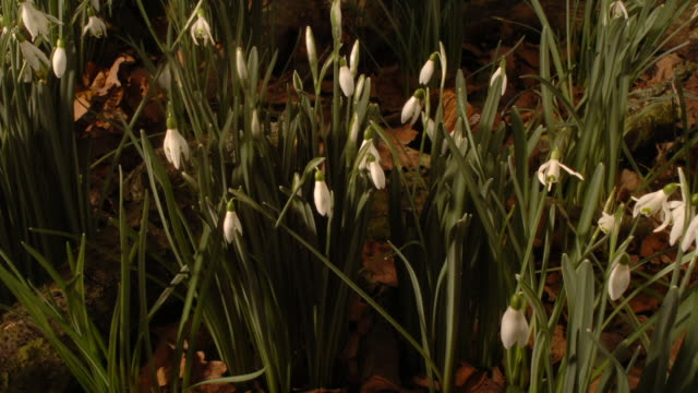 snowdrop plants sway and grow in the sunshine. available in hd. - snowdrop stock videos and b-roll footage