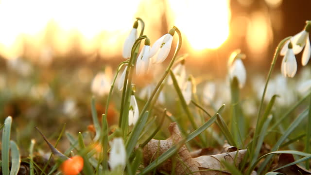 hd dolly: snowdrops against late sunlight - snowdrop stock videos and b-roll footage