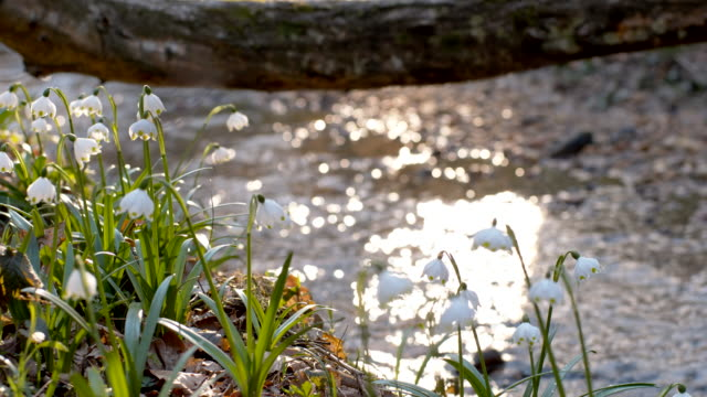 ds snowdrops by the creek in forest - named wilderness area stock videos & royalty-free footage