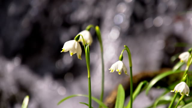 slo mo snowdrops by the creek - snowdrop stock videos and b-roll footage
