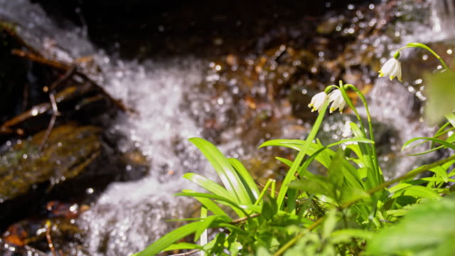 SLO MO Snowdrops by the creek