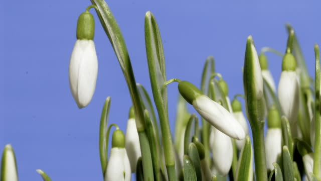 snowdrops flowering, timelapse - snowdrop stock videos and b-roll footage