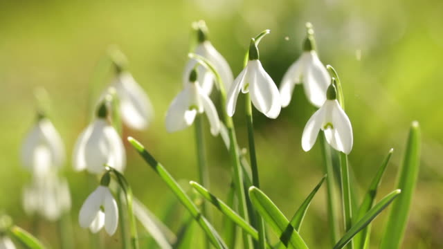 snowdrops flowers - snowdrop stock videos and b-roll footage