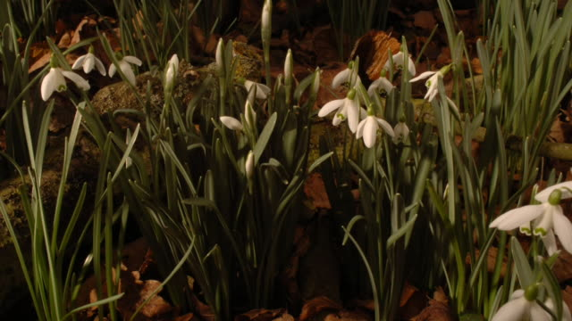 snowdrops grow and bloom beautifully in the woodland. available in hd. - snowdrop stock videos and b-roll footage