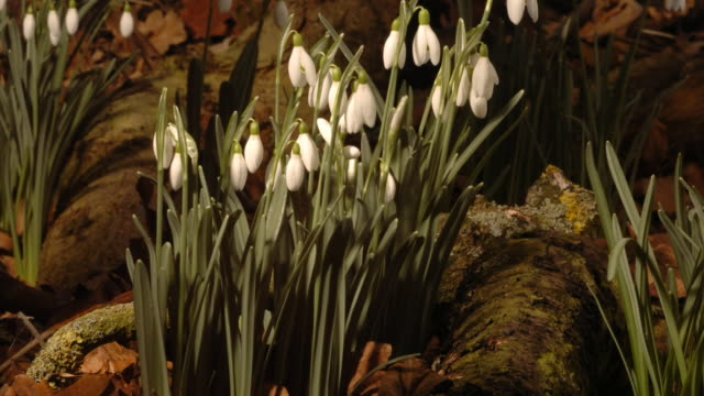 snowdrops grow and bloom beautifully in the woodlands. available in hd. - snowdrop stock videos and b-roll footage