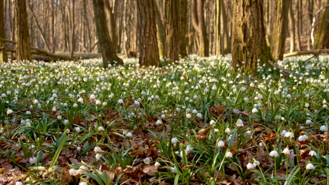 ds snowdrops in the forest - named wilderness area stock videos & royalty-free footage