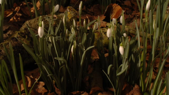 snowdrops sway as they grow in the woodland. available in hd. - snowdrop stock videos and b-roll footage