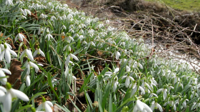 snowdrops - 30 seconds or greater stock videos & royalty-free footage