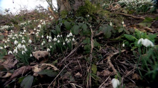 snowdrops (galanthus nivalis) - flowering plant stock videos & royalty-free footage